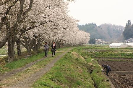 夏井千本桜と田んぼ
