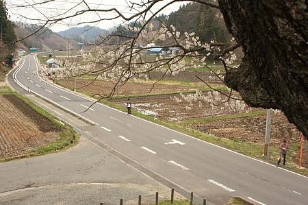 小野町 種まき桜