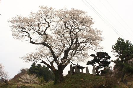 吉野辺 種まき桜