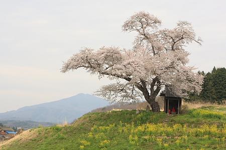 船引町 小沢の桜