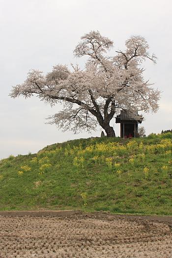 桜と田んぼ