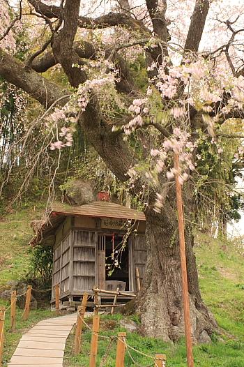風に流れる枝垂れ桜