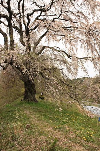 木の芽沢五斗蒔田桜