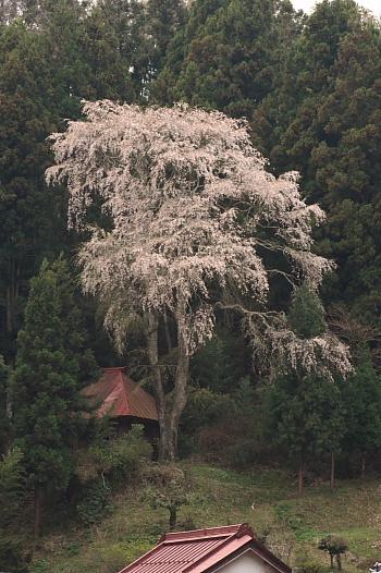 国道49号線の栃本の桜
