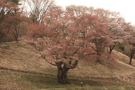 いわき市新田の山桜