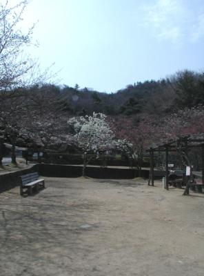 紀伊風土記の丘07-大島桜