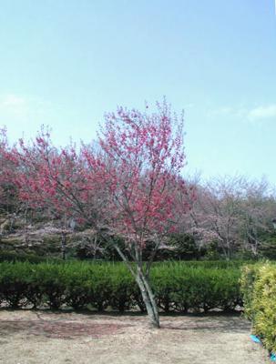 紀伊風土記の丘12-彼岸桜1