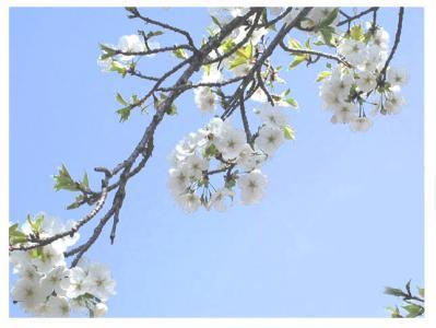 紀伊風土記の丘13-桜の花UP1