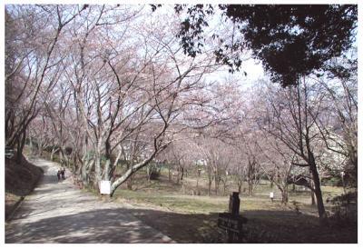 紀伊風土記の丘15-桜2