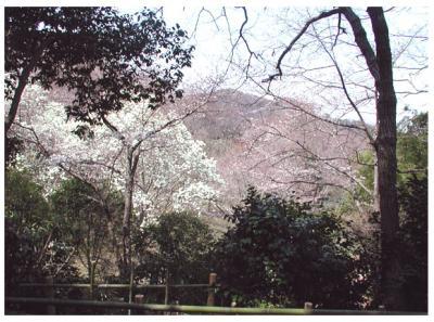 紀伊風土記の丘16-桜と木蓮