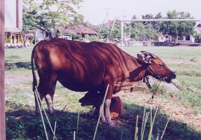 バリ07/バリで見かけた牛