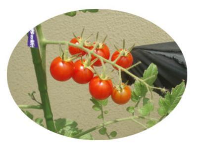 自家製ミニトマト