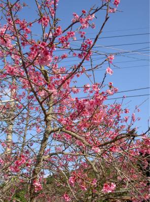 沖縄の桜1