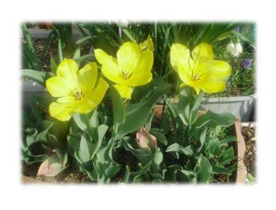 プランターの花2007春/黄色のチューリップ02