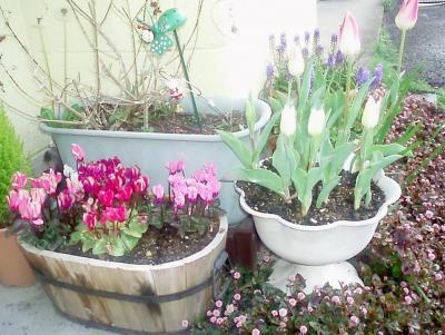 プランターの花2007春05/チューリップとシクラメン