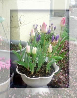 プランターの花2007春06/チューリップ