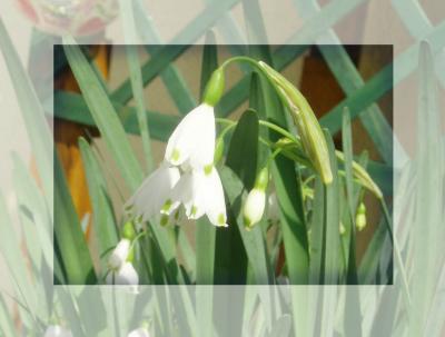 プランターの花2007春07/スノーホワイト
