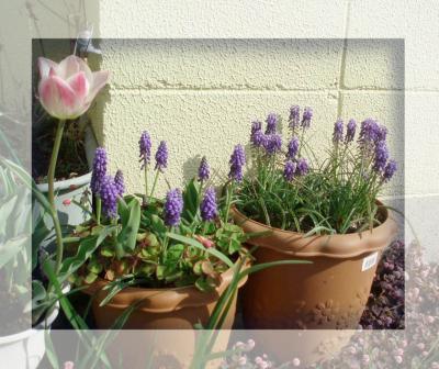 プランターの花2007春08/チューリップとムスカリ