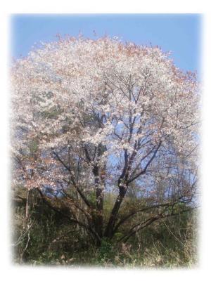 桜2007-01