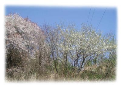 紀泉台の桜2007-03