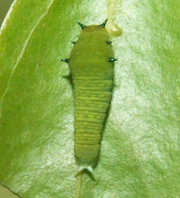 アオスジアゲハの幼虫001