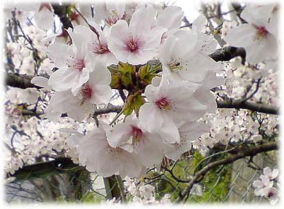 住宅の桜2008-02