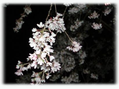 和歌山城の夜桜06