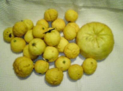 自家製の柚子と獅子柚子