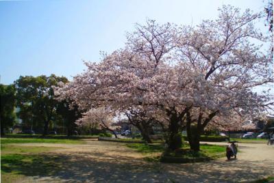 公園の桜4/7-01