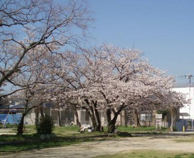 公園の桜4/7-02