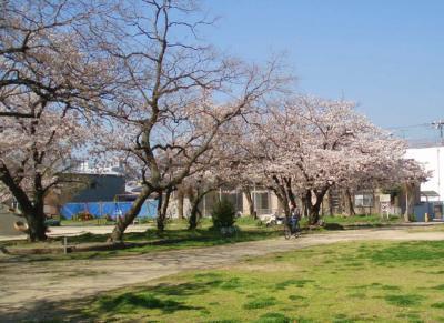 公園の桜4/7-03