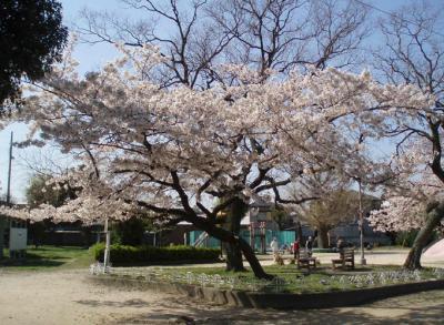 公園の桜4/7-04