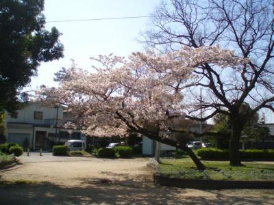 公園の桜4/7-05
