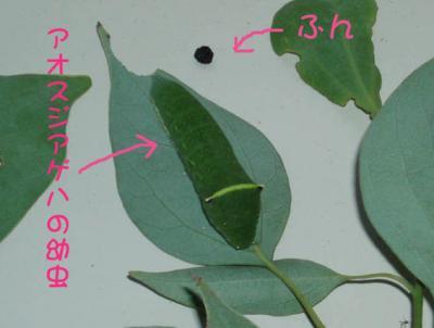 アオスジアゲハの幼虫02