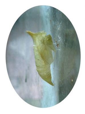 アオスジアゲハのサナギ03