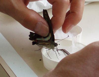 アオスジアゲハの成虫03