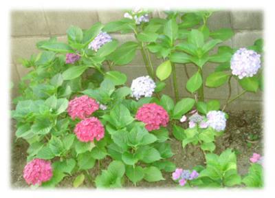 職場の紫陽花2006-01
