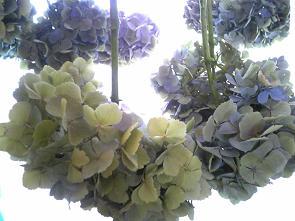 紫陽花収穫2