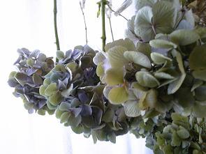 紫陽花収穫1