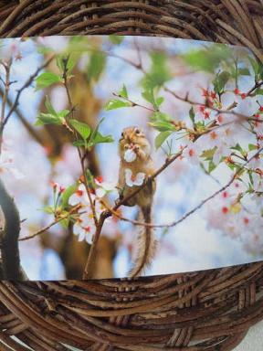 りすと桜1