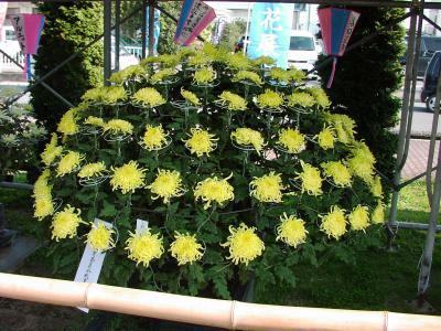 豪華な菊の花