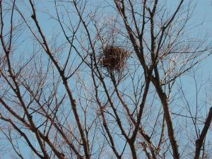 ケヤキのkに鳥の巣②