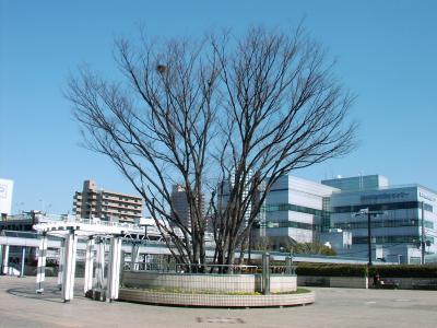 ケヤキの木に鳥の巣