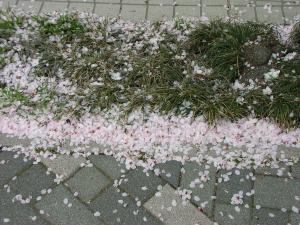 はきだめの桜