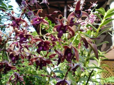 orchid thatcher