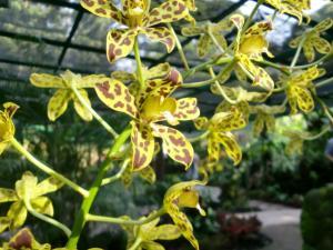 orchid kirin