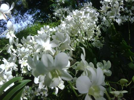 orchid white fairy 2