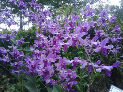 orchid yonsama