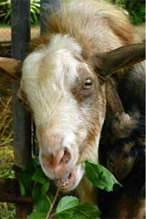 20050714_goat1.jpg