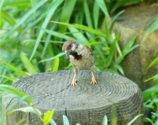 20050814_Sparrow.jpg